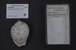 Image of Brown striped snail