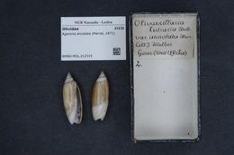 Image of <i>Agaronia annotata</i> (Marrat 1871)