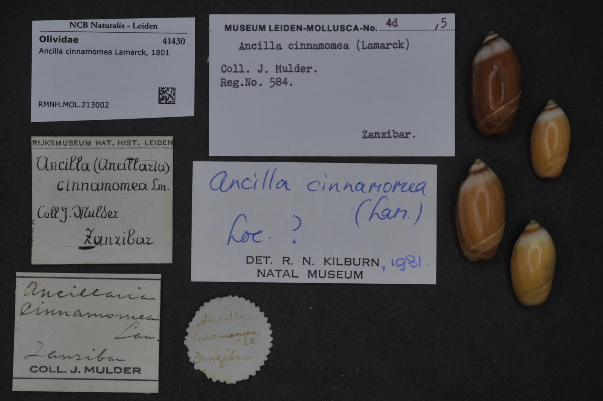 Image of cinnamon ancilla