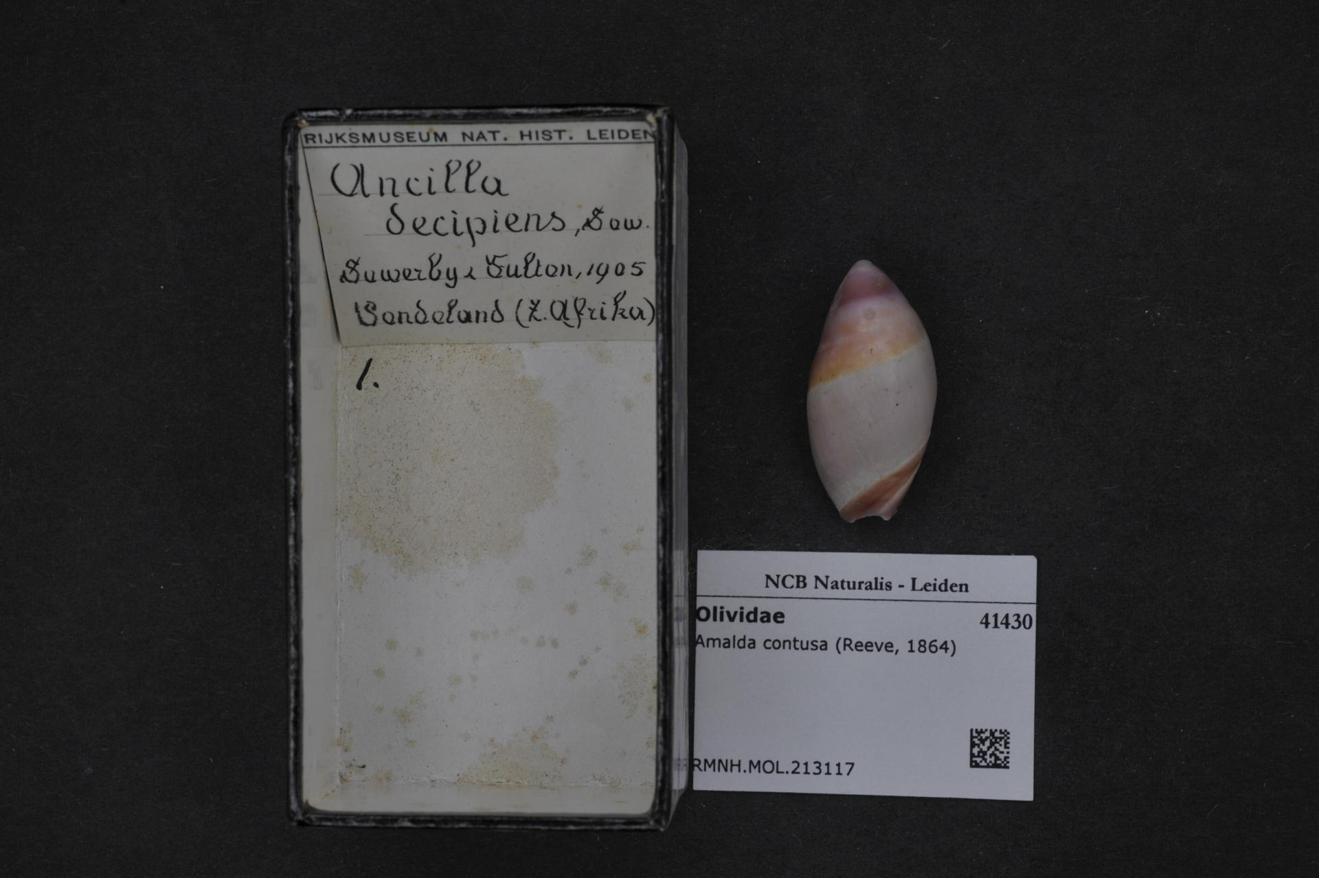 Image of <i>Amalda contusa</i> (Reeve 1864)