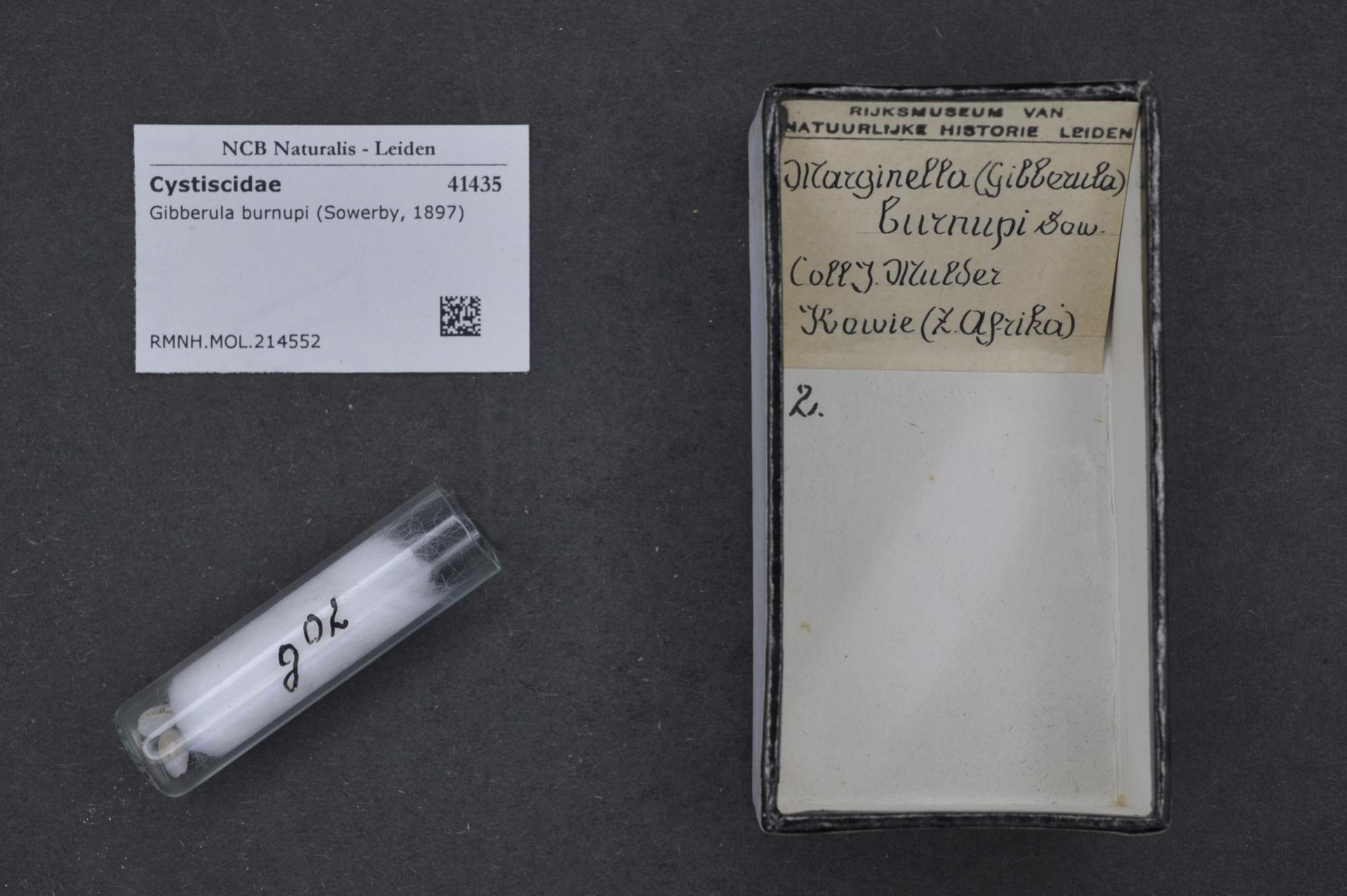 Image of Gibberula
