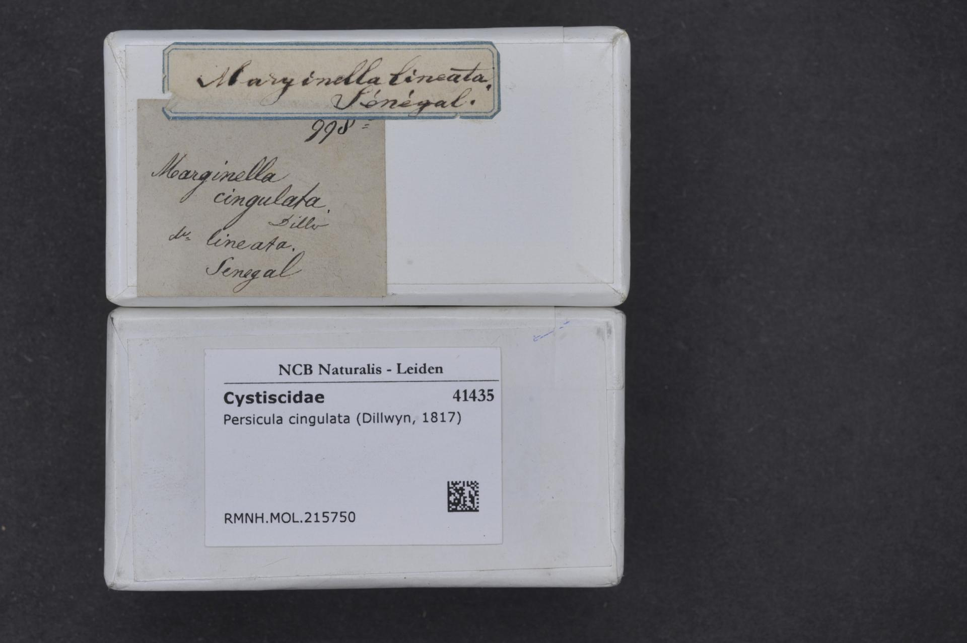 Image of <i>Persicula cingulata</i> (Dillwyn 1817)