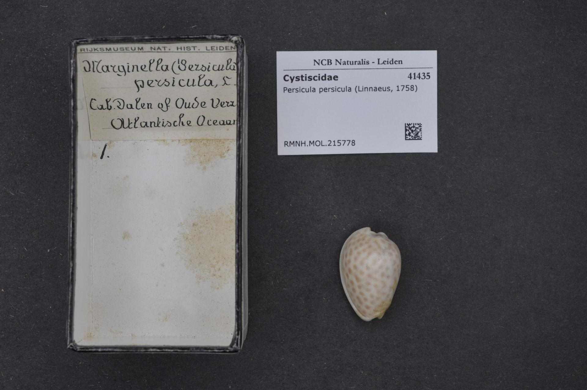 Image of spotted margin shell