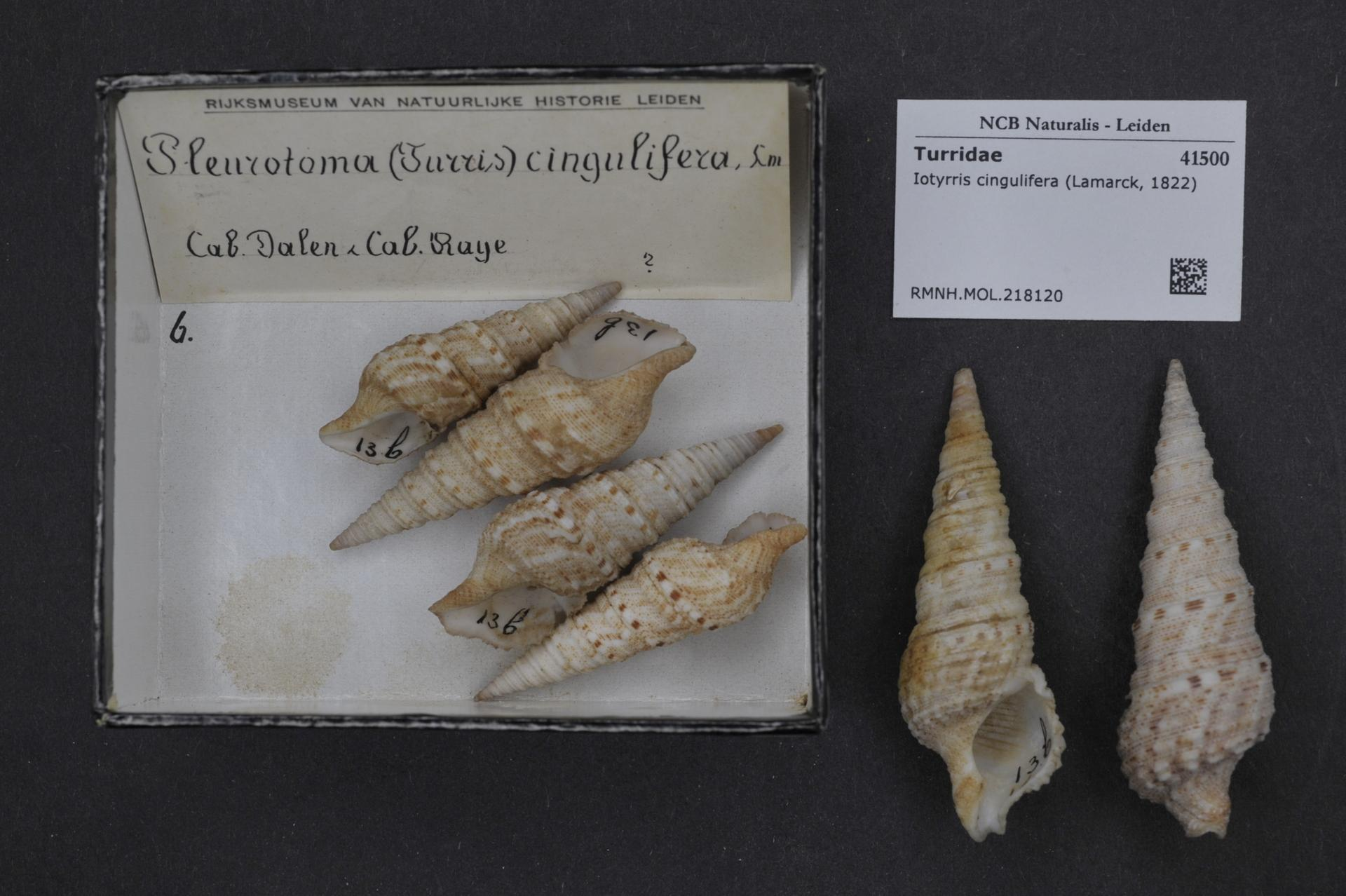 Image of <i>Iotyrris cingulifera</i> (Lamarck 1822)