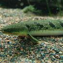 Image of Polypteriformes