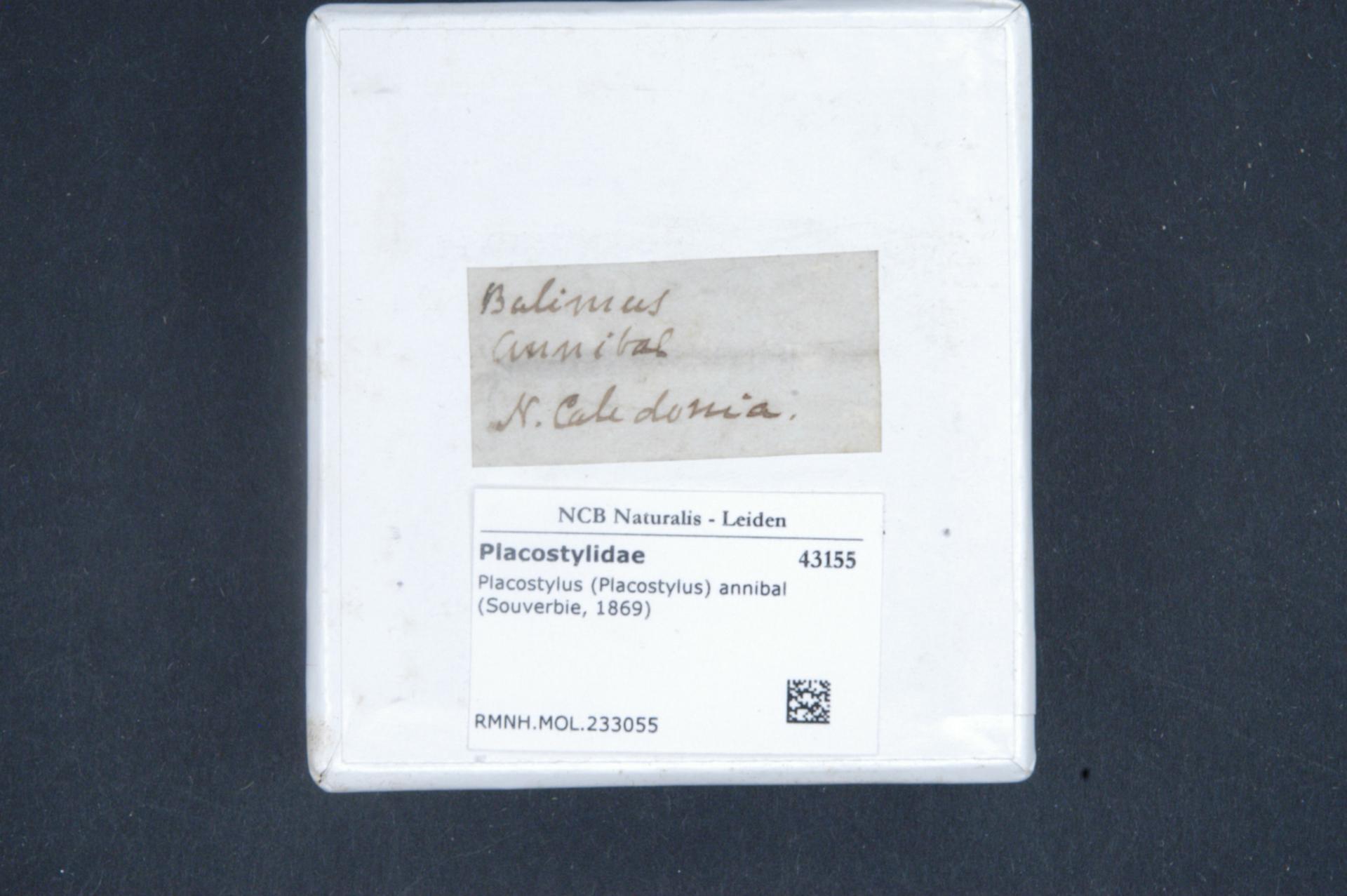 Image of Placostylus