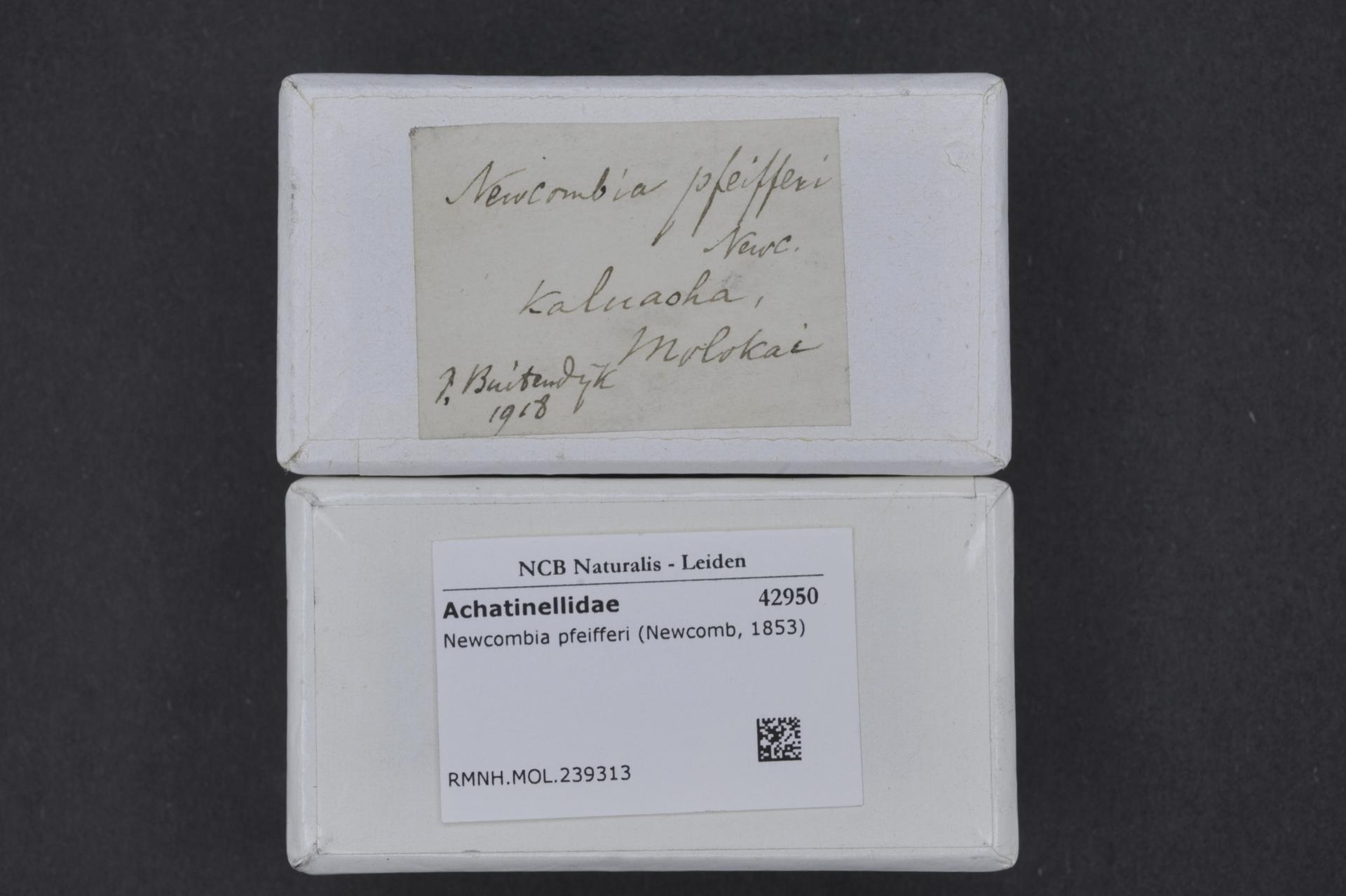 Image of Newcombia Pfeiffer 1854