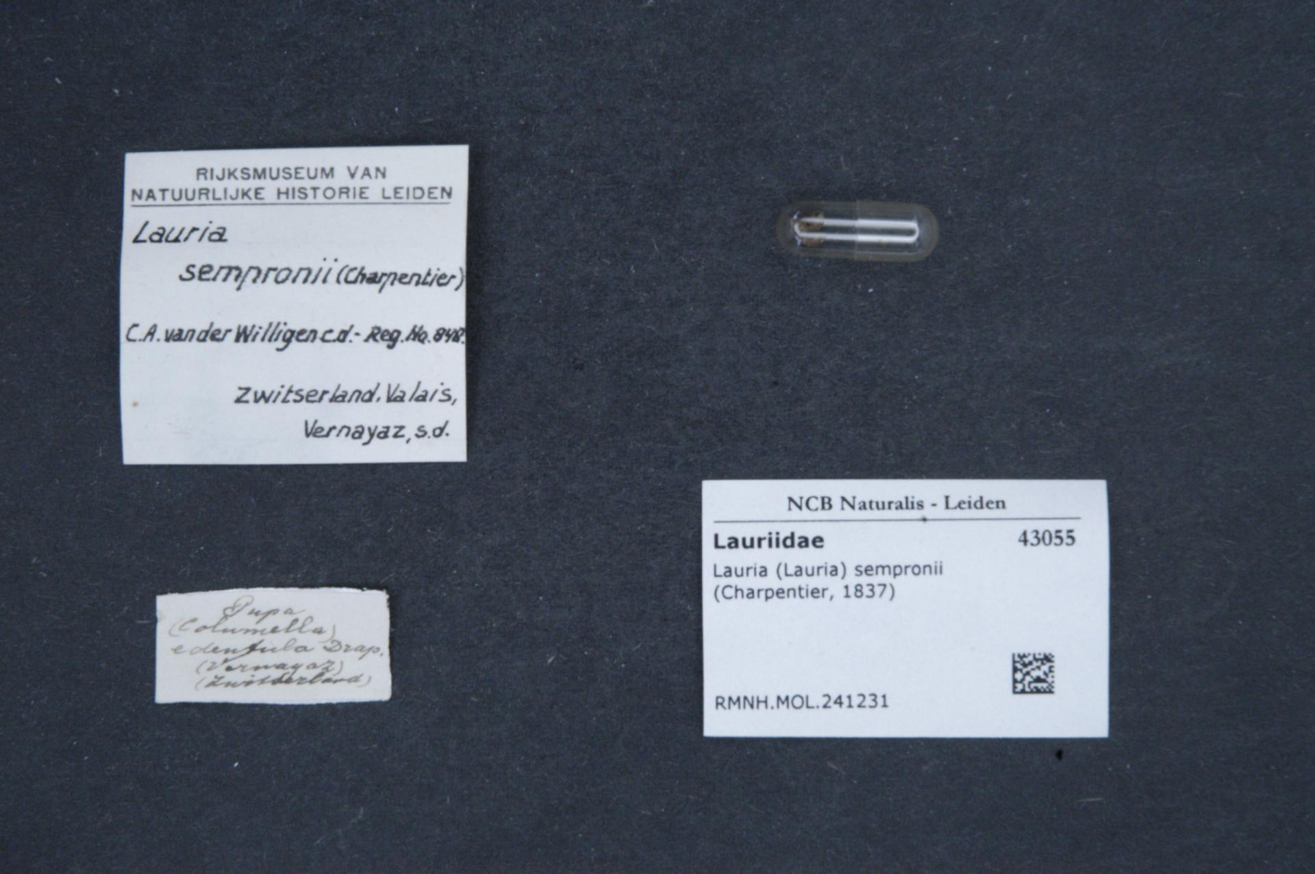 Image of <i>Lauria sempronii</i> (Charpentier 1837)