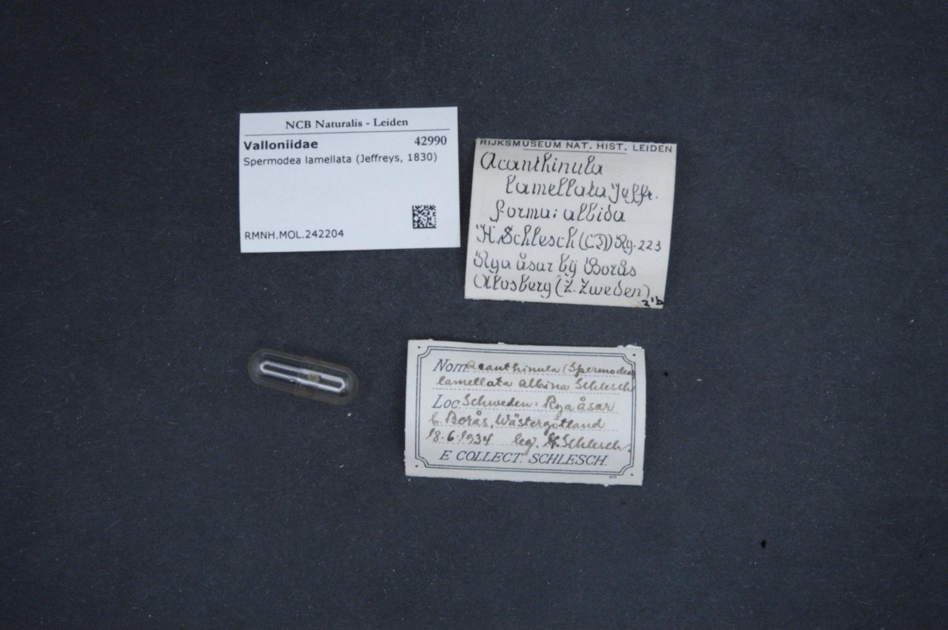 Image of <i>Spermodea lamellata</i>