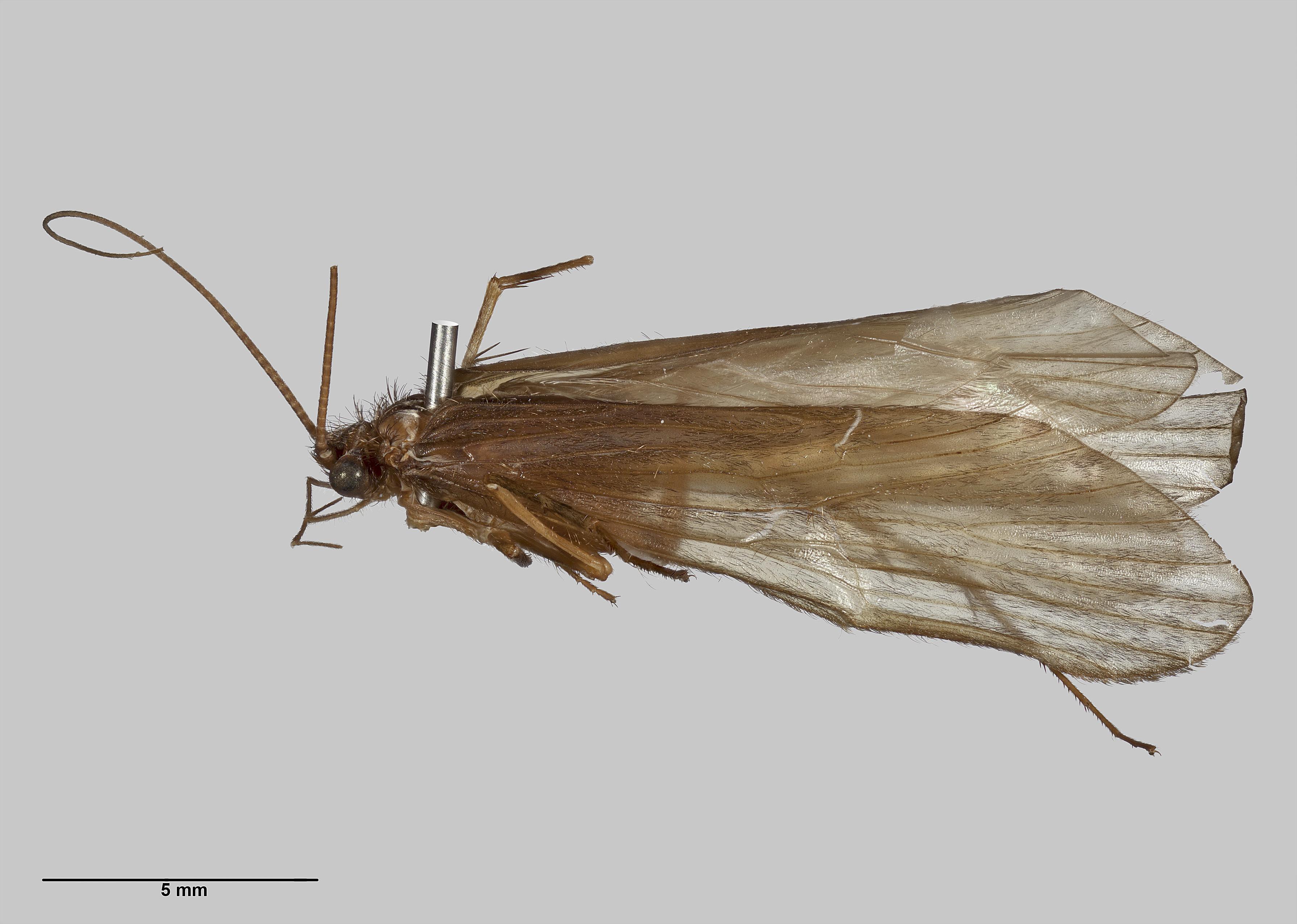 Image of Hydrobiosidae