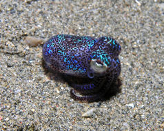 Image of Berry's bobtail squid