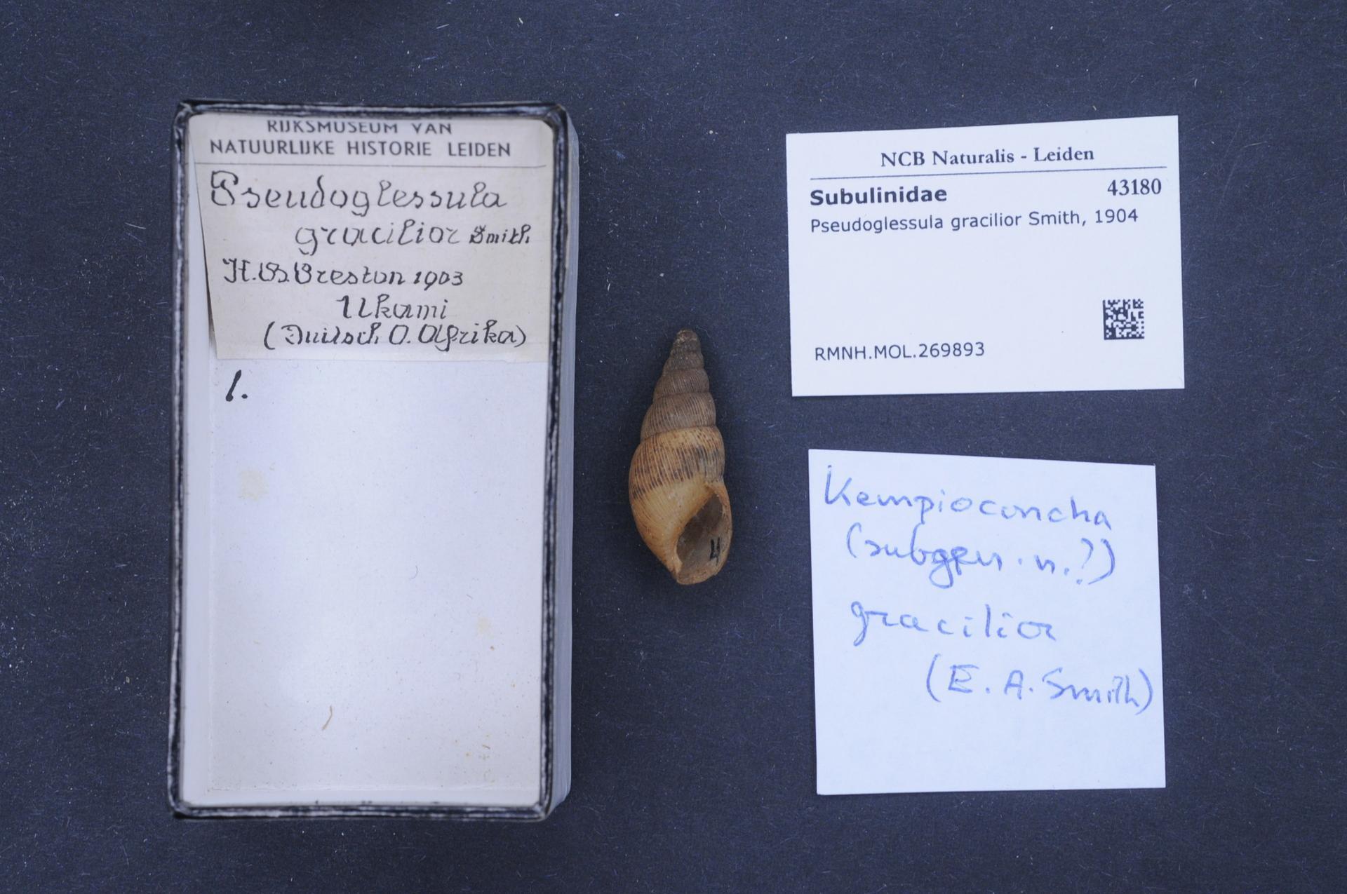 Image of Pseudoglessula