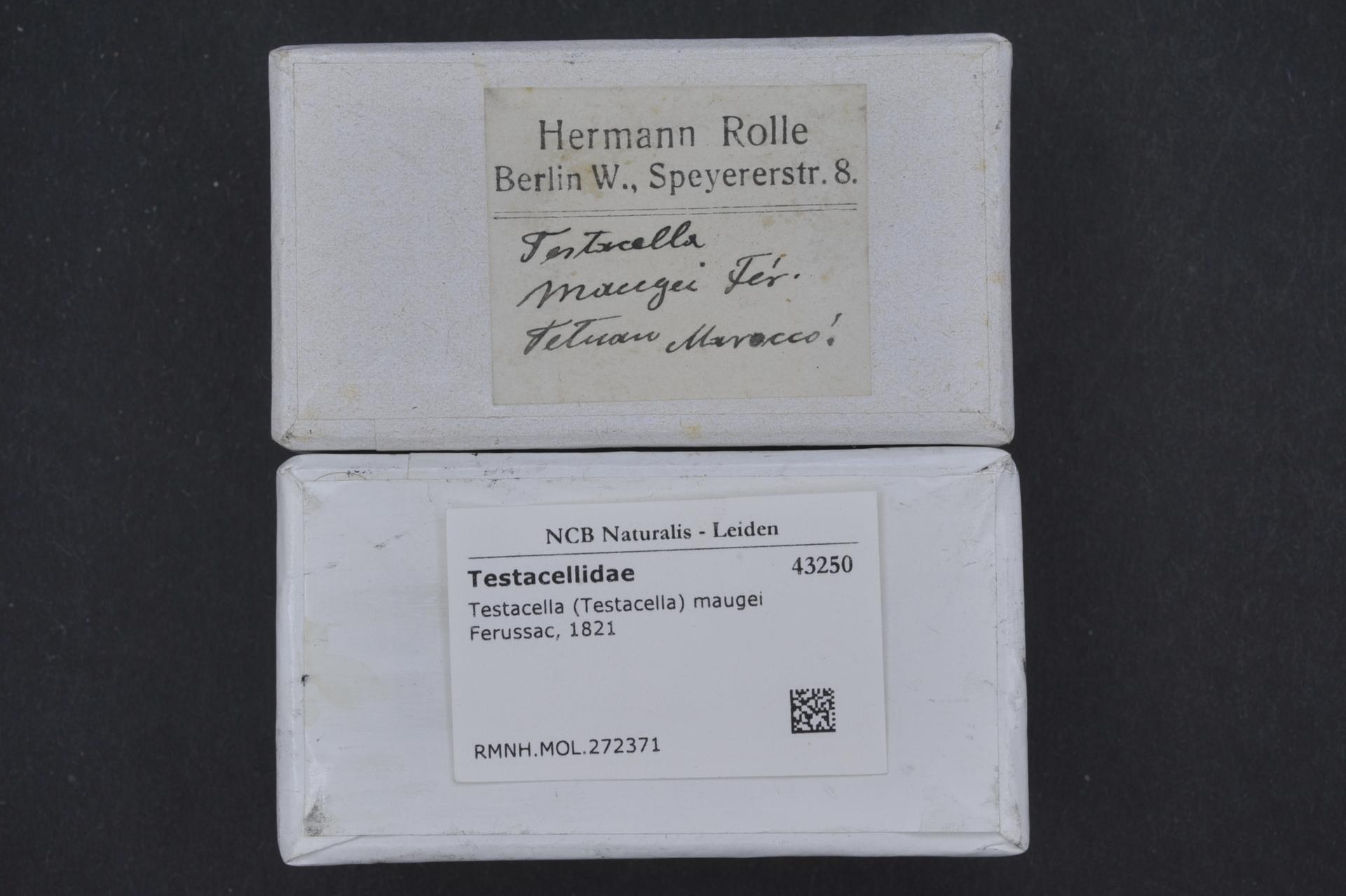 Image of <i>Testacella maugei</i> Férussac 1819