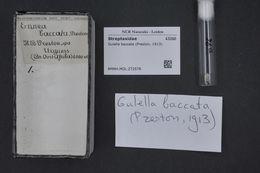 Image of Gulella