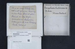 Image of <i>Powelliphanta hochstetteri</i> (L. Pfeiffer 1862)
