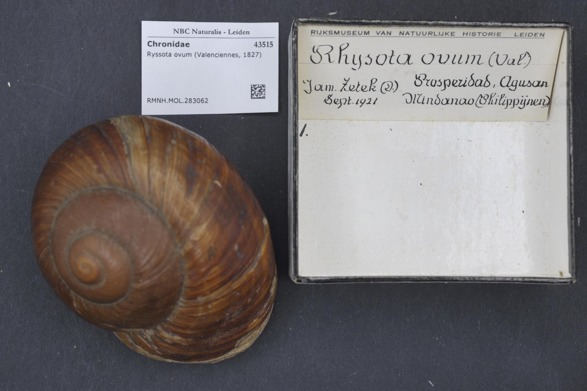 Image of <i>Ryssota otaheitana</i>
