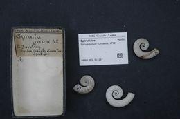 Image of Little Post Horn Squid