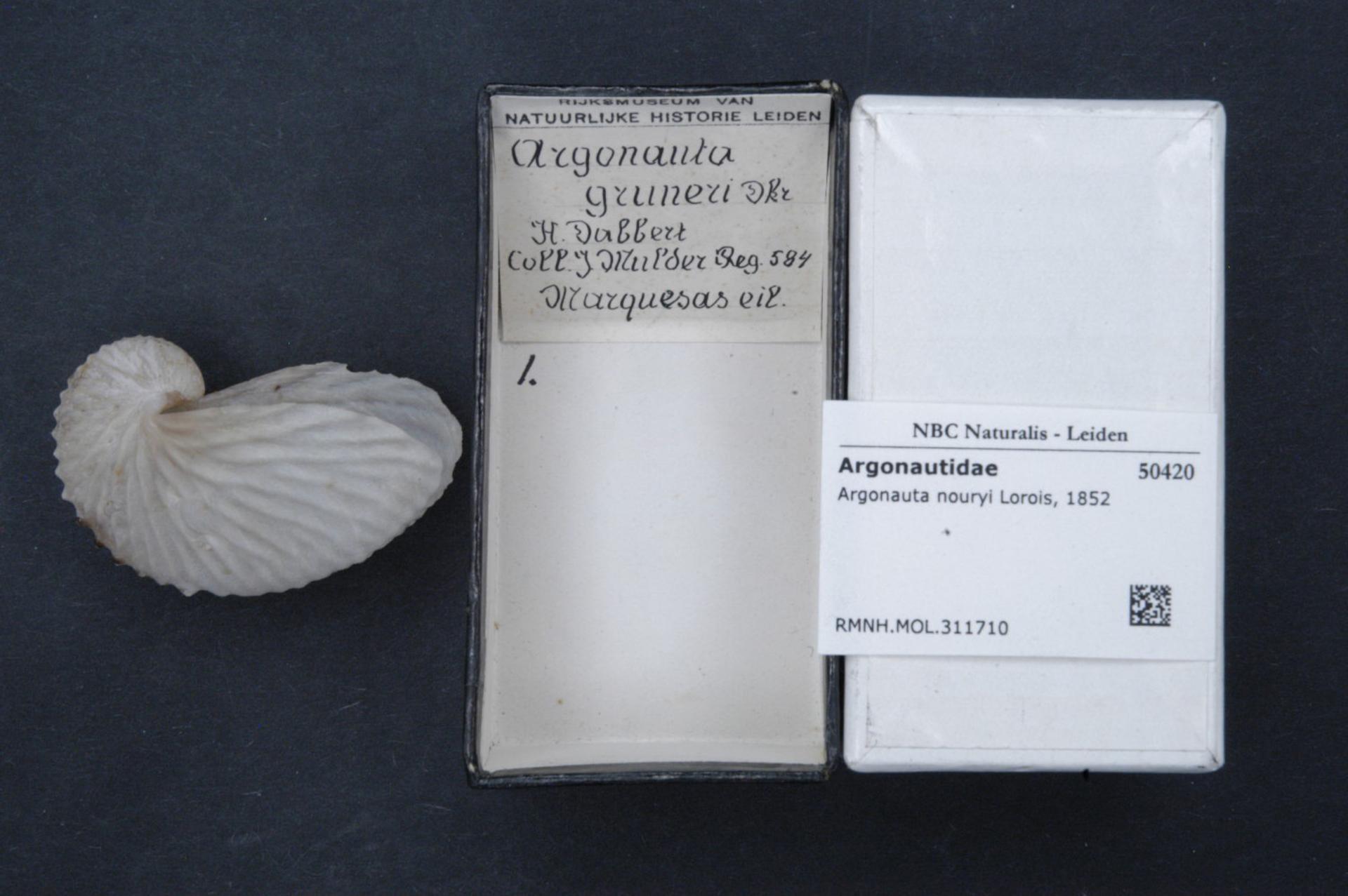 Image of rough-keeled argonaut