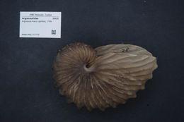 Image of Brown Argonaut