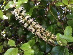 Image of <i>Weinmannia racemosa</i>