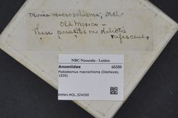 Слика од <i>Pododesmus macrochisma</i> (Deshayes 1839)