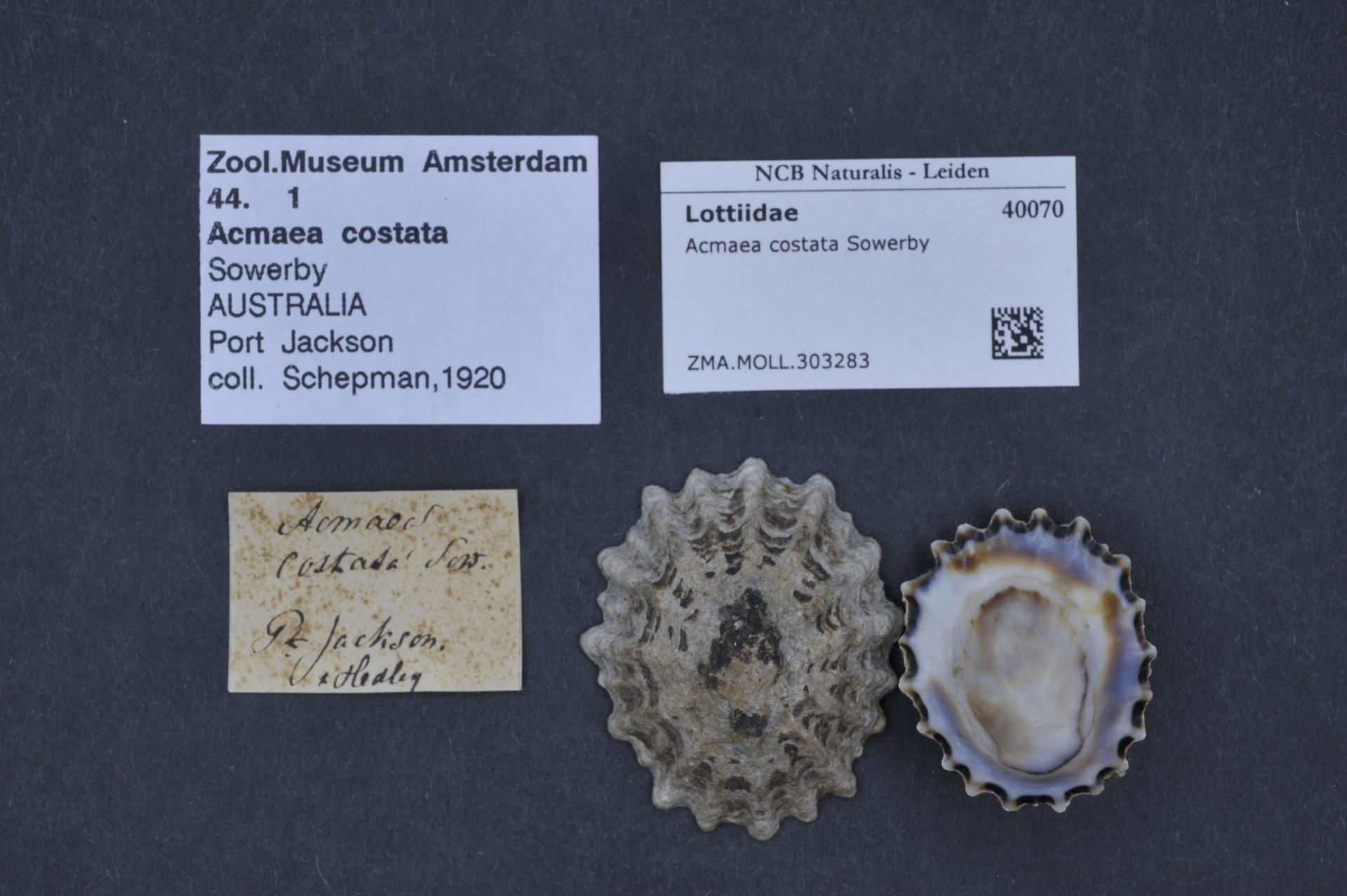 Image of limpet