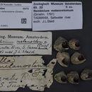 Image of <i>Bembicium melanostoma</i> (Gmelin 1791)
