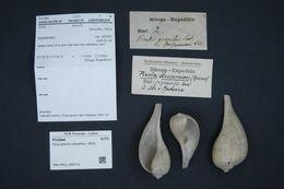 Image of <i>Ficus gracilis</i> (G. B. Sowerby I 1825)