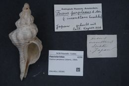 Image of <i>Fusinus perplexus</i> (A. Adams 1864)