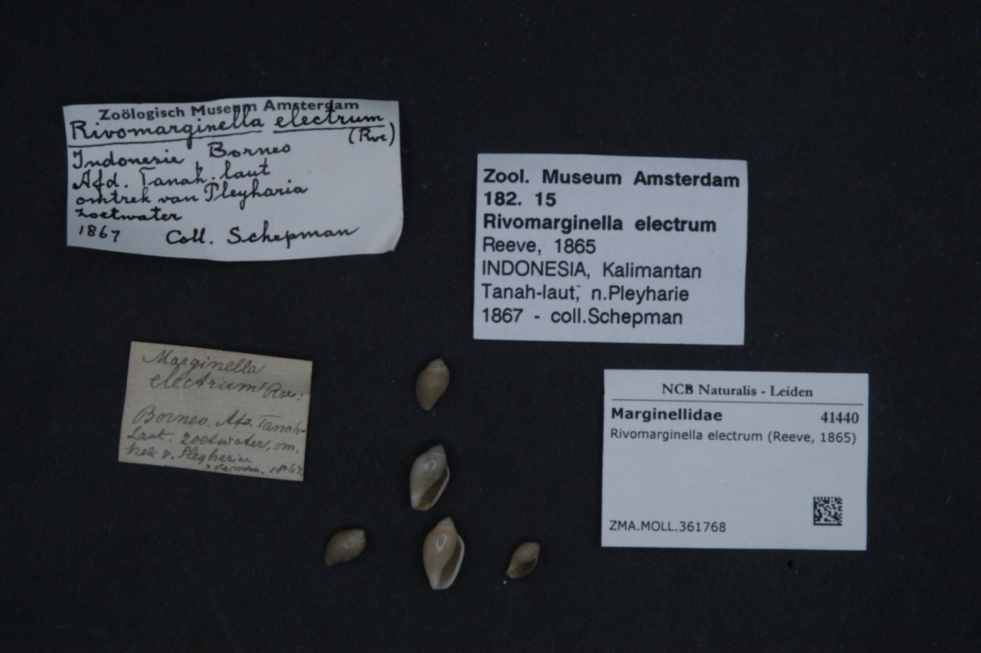 Image of <i>Rivomarginella electrum</i> (Reeve 1865)