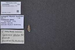 Image of <i>Omphiscola glabra</i> (O. F. Müller 1774)