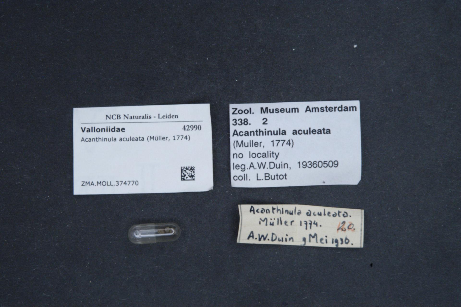Image of <i>Acanthinula aculeata</i> (O. F. Müller 1774)
