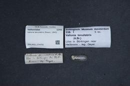 Image of <i>Vallonia tenuilabris</i> (Braun 1843)