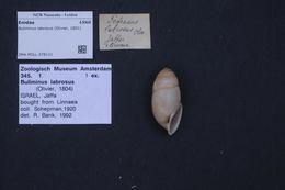 Image of <i>Buliminus labrosus</i> (Olivier 1804)