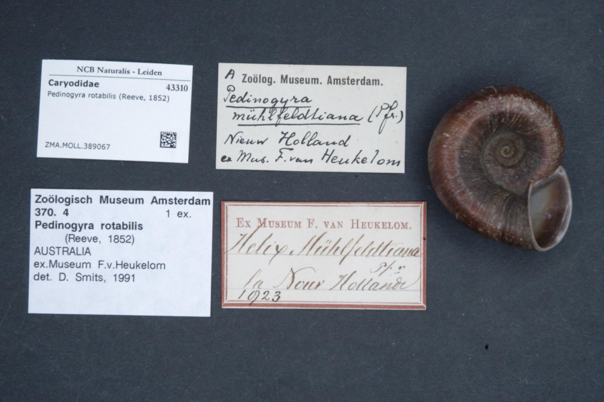 Image of <i>Pedinogyra rotabilis</i> (Reeve 1852)