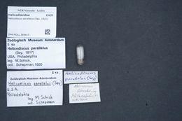 Image of <i>Helicodiscus parallelus</i> (Say 1821)