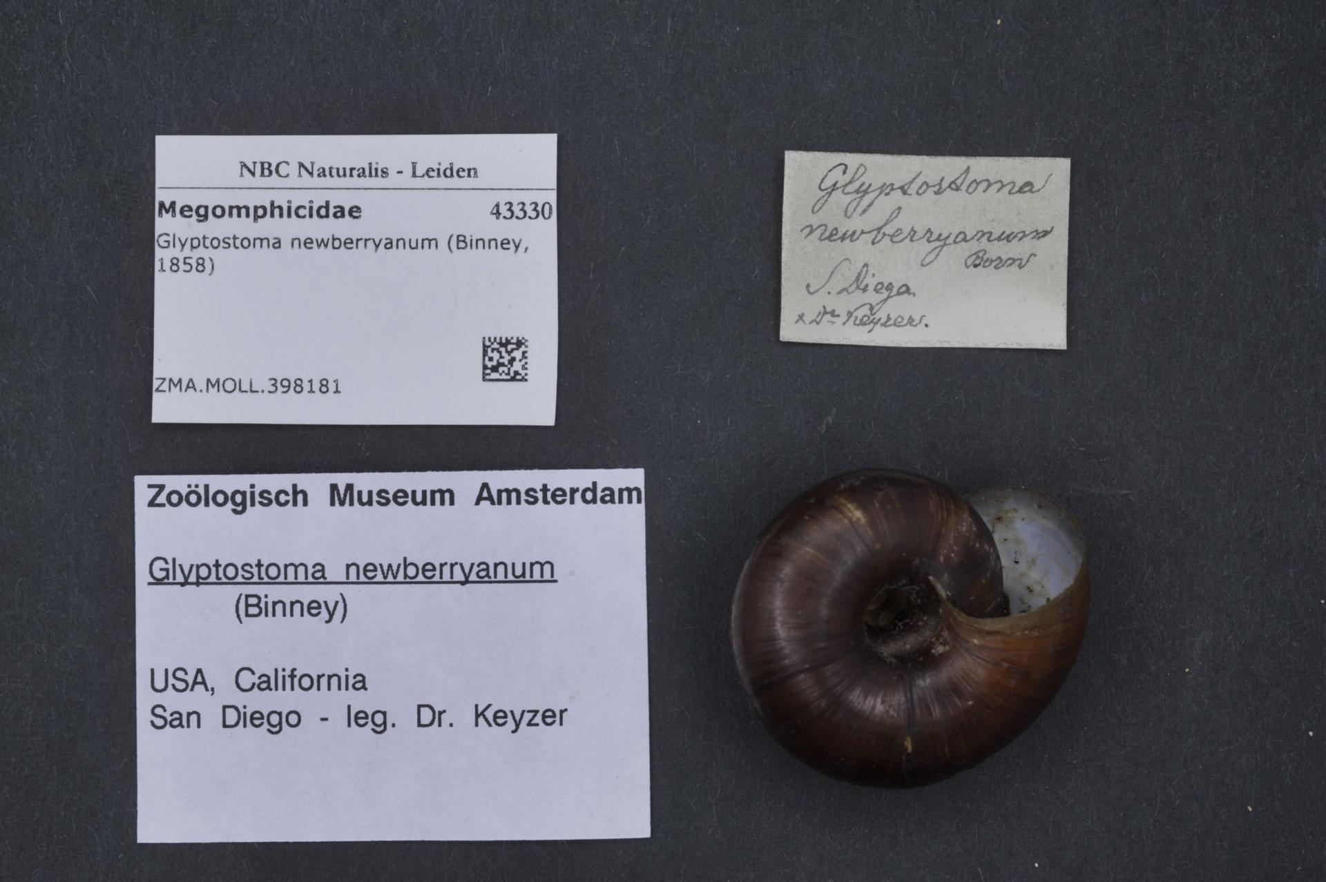 Image of Glyptostoma Bland & W. G. Binney 1873
