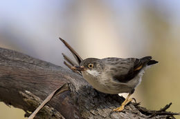 Image of Varied Sittella
