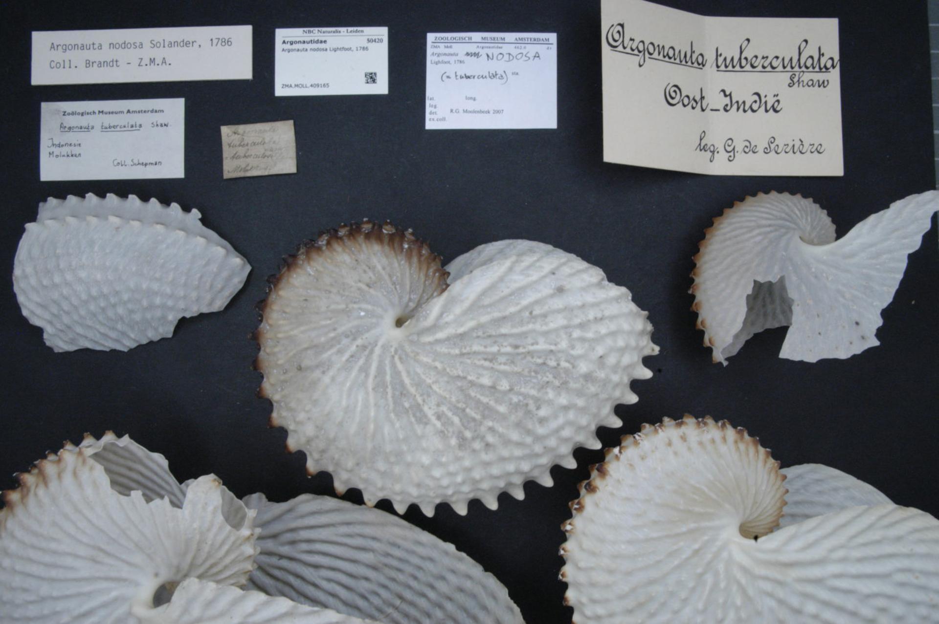 Image of <i>Argonauta nodosa</i>