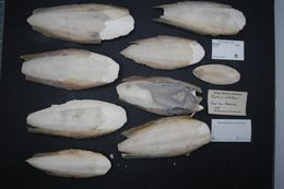 Image of cuttlefishes