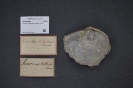 Слика од <i>Anomia trigonopsis</i> Hutton 1877