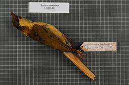 Image of Golden Bowerbird