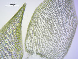 Image of Girgensohn's bog-moss