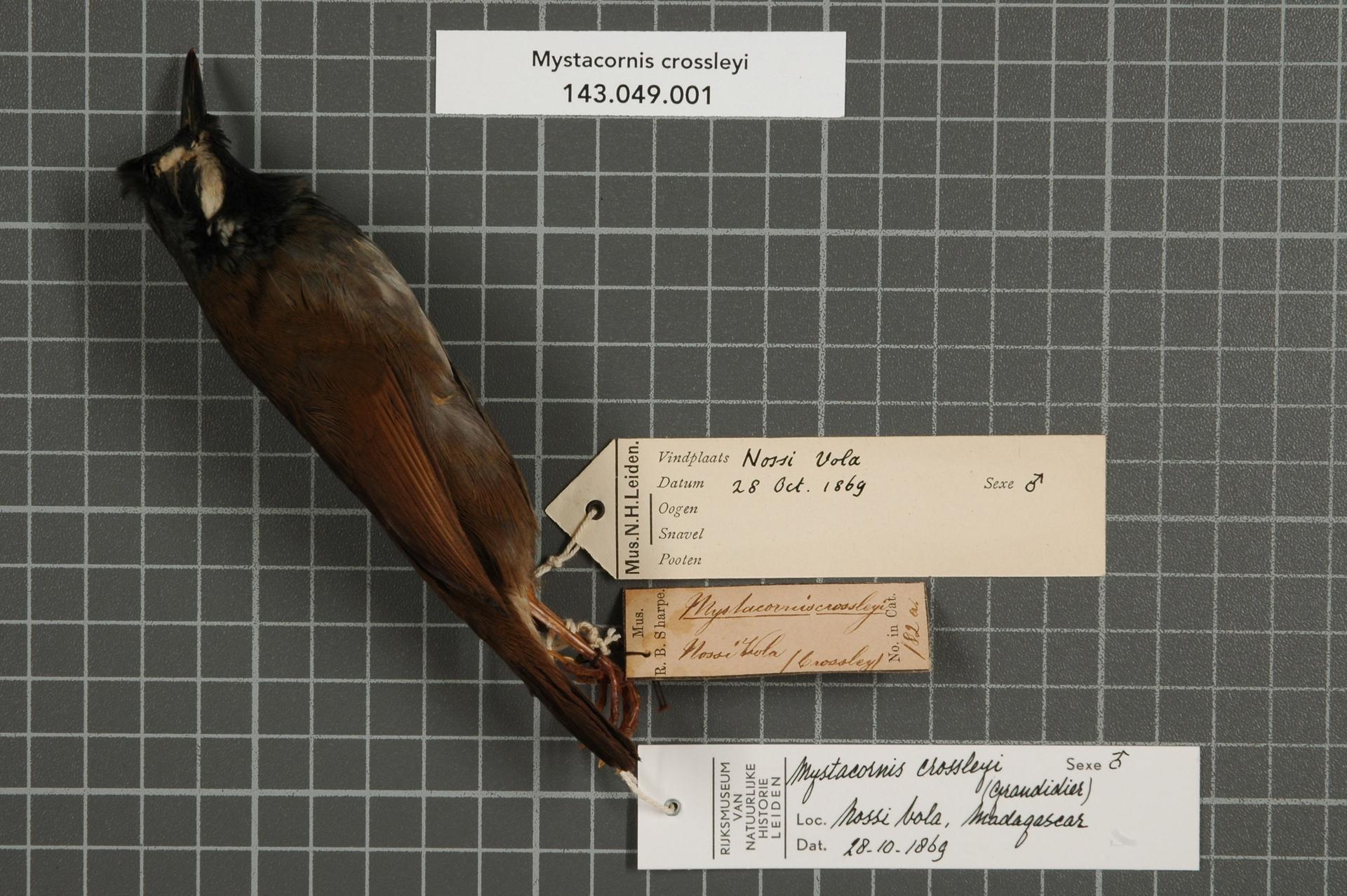 Image of Crossley's Babbler