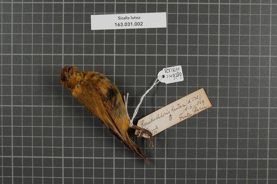 Image of Puna Yellow Finch