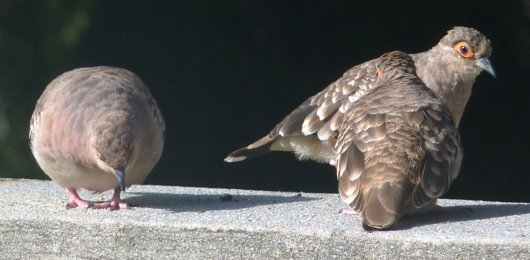 Image of Ground doves