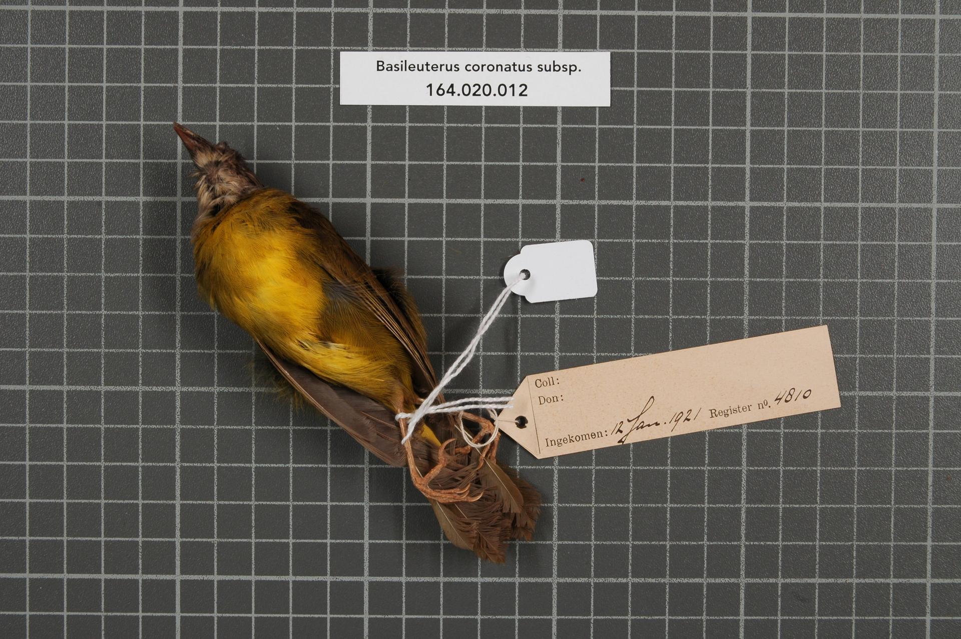 Image of Russet-crowned Warbler