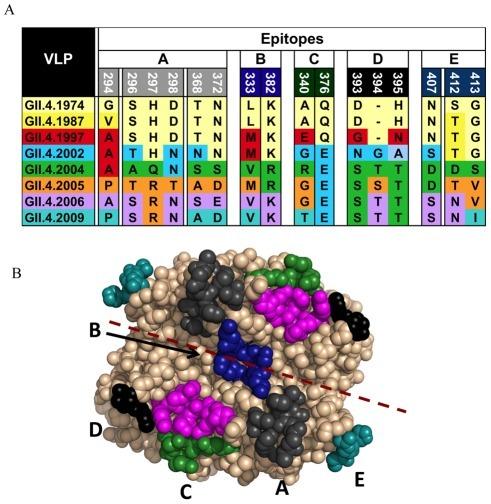 Image of Norovirus