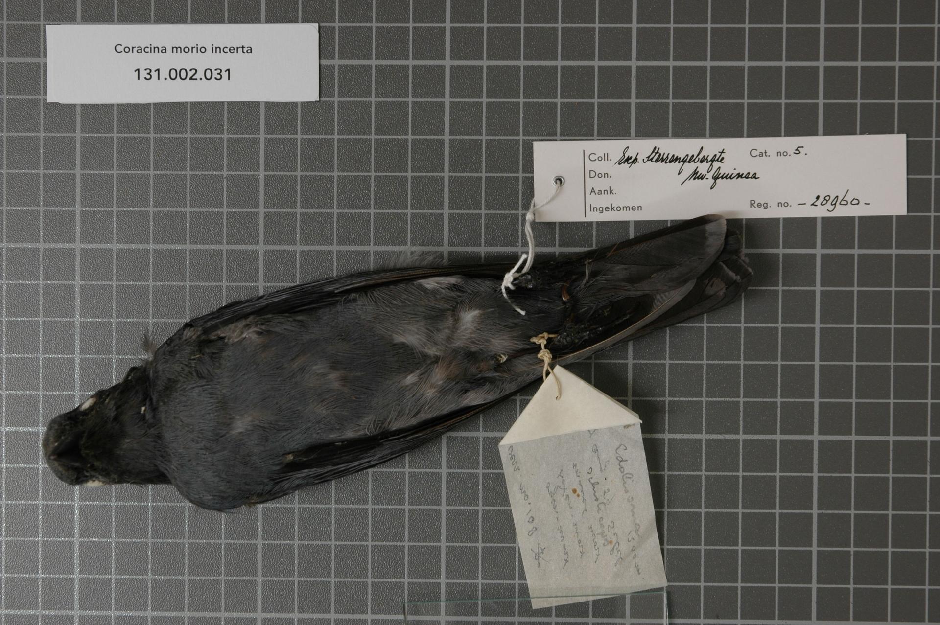 Image of Sulawesi Cicadabird