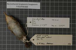Image of Long-winged Antwren